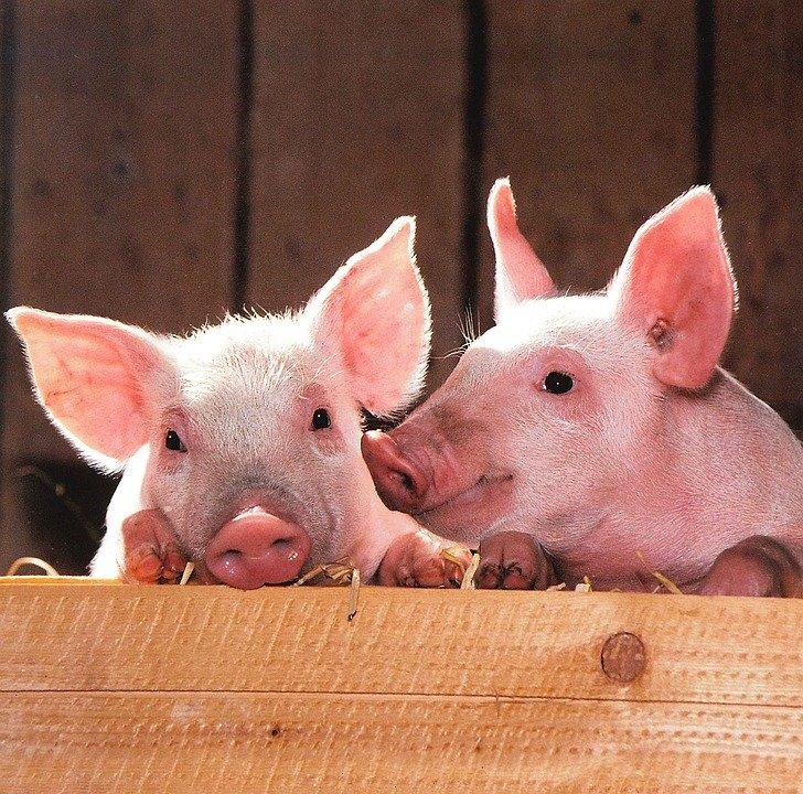 pigs-1507208_960_720